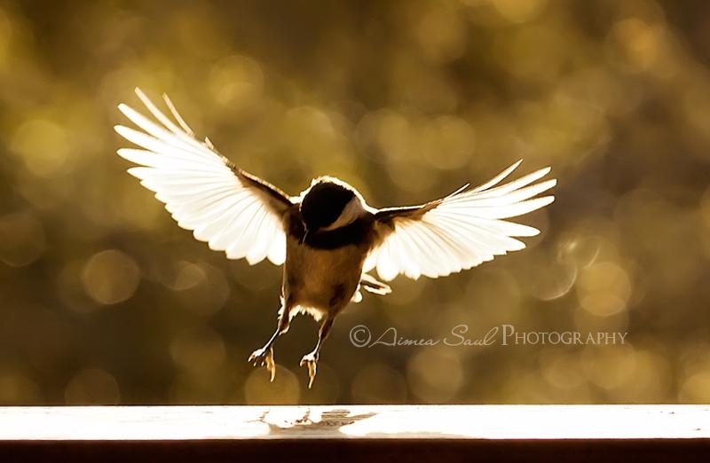 Chickadee landing - photo#12